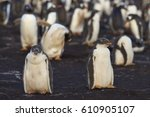 gentoo penguin chicks ... | Shutterstock . vector #610905107