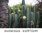 Cactus Plant With Blossom A...