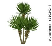 Large Plant Of A Yucca  Yucca...