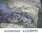 Small photo of Alligator, or jacare in portuguese, are reptiles of the Alligatoridae family, Crocodylia order, inhabiting the Americas