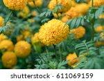 Marigolds  Tagetes Erecta ...
