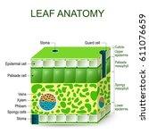 leaf anatomy. vector diagram on ... | Shutterstock .eps vector #611076659