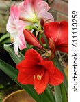 Small photo of BEAUTY AMARYLLIS BLOOMS