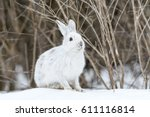 White Snowshoe Hare In Early...