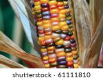 Husk Of Colorful Indian Corn...