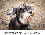 Miniature Schnauzer Dog Is...