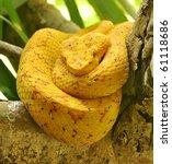Постер, плакат: Eyelash viper resting
