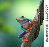 Small photo of Red eyed tree frog, Agalychnis callydrias ready to jump. A tropical animal from the rain forest of Costa Rica