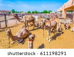 camels held in captivity in a... | Shutterstock . vector #611198291