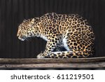 North Chinese Leopard  Panther...