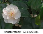 White Camellia Flower Blooming...
