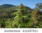 pink cannabis flower in the... | Shutterstock . vector #611337311