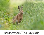 Stock photo european hare sitting in a meadow 611399585