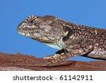 Small photo of Female tree agama (Acanthocerus atricollis), South Africa