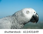 Small photo of african grey with a blue background
