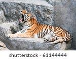 Lying And Yawning Siberian Tiger