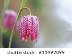 Fritillary Flower Closeup ...