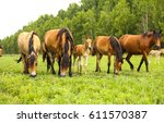 Stock photo horse herd in field mare and foal grazing in horse farm 611570387