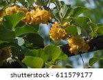 Flowers Of Kiwi Ardeche France