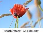 A Poppy Under Blue Skies