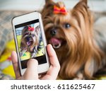 Stock photo a woman s hand holds a smartphone and takes a picture of a little dog 611625467