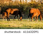 Two Mares And Two Newborn Foals ...