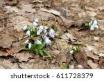 Small photo of Early squill (Mishchenko squill, or white squill) flowers. Plant grows from a small bulb, with 2-3 strap shaped leaves and pale blue flowers with darker veins, blooming in early spring or late winter