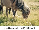 Icelandic Horse Eating Grass ...