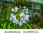 Closeup To African Lily ...