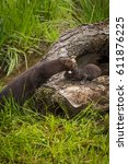 Small photo of Adult American Mink (Neovison vison) Reaches Out to Grab Kit - capitve animals