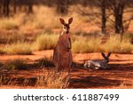 A Female Red Kangaroo With Her...