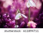 beautiful snowdrops | Shutterstock . vector #611894711
