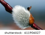 Dewdrops On A Pussy Willow