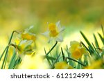 A Group Of Woodland Daffodils ...
