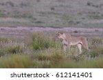 panthera leo vernayi   kalahari ... | Shutterstock . vector #612141401