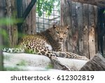 leopard caged