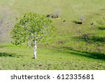Small photo of California horse-chestnut (Aesculus californica) tree in nature in California, in the beginning of the spring, displaying lush, green leaves, with cows grazing in the background pasture