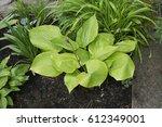 early summer border with hosta '... | Shutterstock . vector #612349001