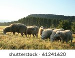 Herd of sheeps - Skudde - the most primitive sheep breed in Europe on the field in Pasterka village in Poland. Early morning. - stock photo