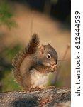 Small photo of american red squirrel, tamiasciurus hudsonicus, Alaska