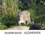 beautiful gray snow leopard... | Shutterstock . vector #612445454