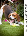 Stock photo beagle having fun playing with a tennis ball outside in the park 612456281