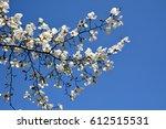 White Blossoms Of Kobushi...