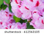 honey bee on a rhododendron... | Shutterstock . vector #612563105