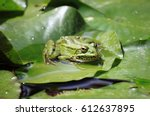 Closeup Of A Frog On A Lily Pond