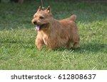 Cute Glen Of Imaal Terrier With ...