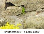 Green Lizard   Young Iguana ...