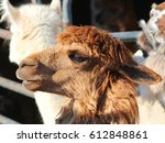 Brown Alpaca   Photograph Of A...