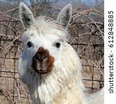 Small photo of White Alpaca with Brown Nose - Photograph of a white alpaca with a brown nose, looking straight ahead. Selective focus on the alpacas head features.