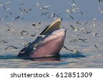 sunset and bryde's whale  eden... | Shutterstock . vector #612851309